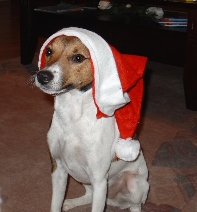 Jack Russell, Nikolaus, rote Mütze