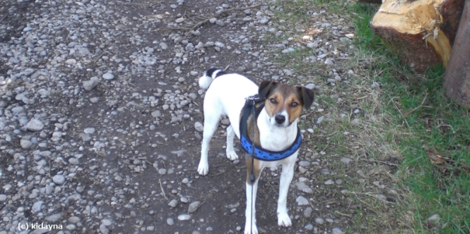 Jack Russell Terrier, Hund, süß