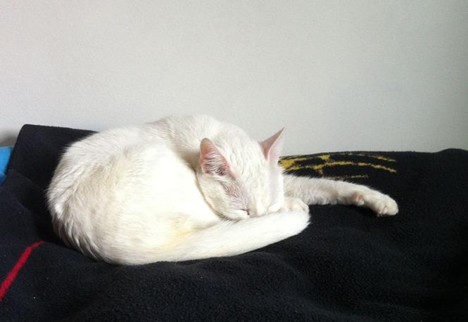 white cat, sleeping, kitty,