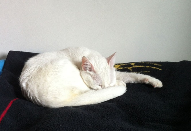 white cat, sleeping, kitty,