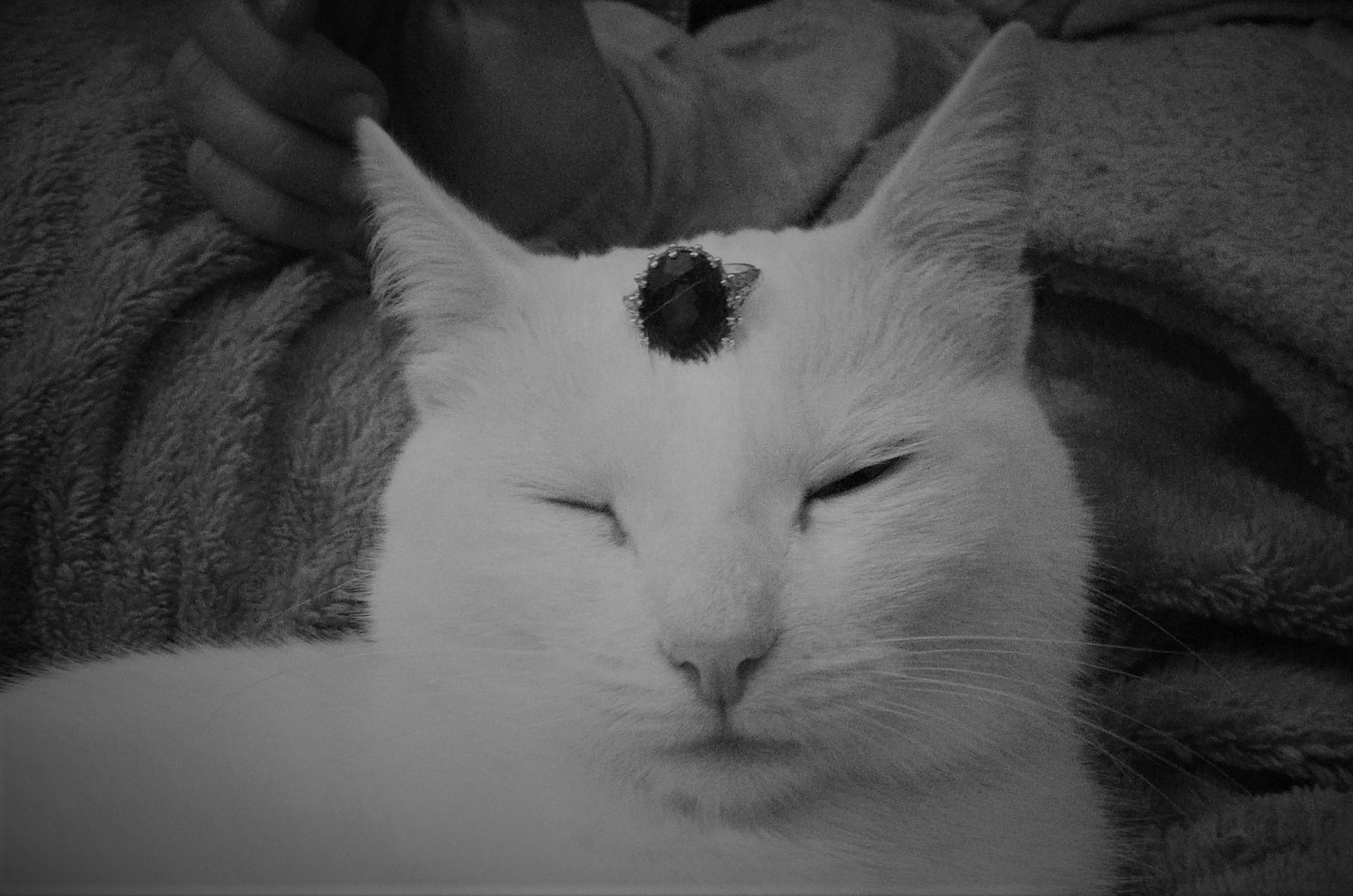cat, jewelry, funny,